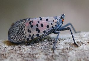 Spotted Lanternfly at rest
